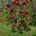 写真: りんご