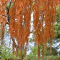 写真: 垂れ下がる紅葉
