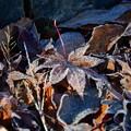 写真: 霜降りる・・・