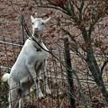 写真: 白ヤギさん・・こんにちは~~