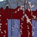 写真: 枝垂れる梅の花