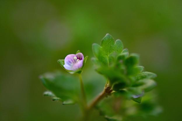 写真: イヌノフグリ・・ピンクです~^