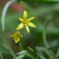 写真: 黄色いアマナ