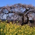 Photos: 田舎の畦道飾る