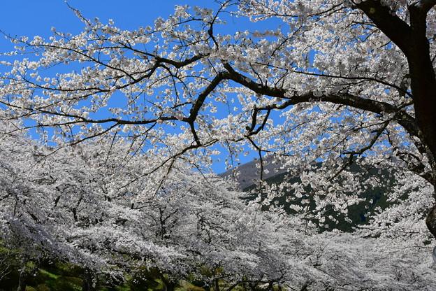 Photos: まだまだ見頃の桜・・