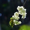Photos: 黄色い桜