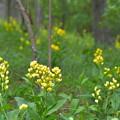 Photos: 雑木林の黄色