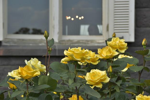 Photos: 黄色いバラ