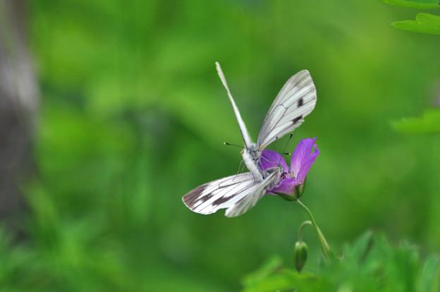 高原の蝶さん達
