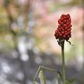 Photos: 赤いトウモロコシ!