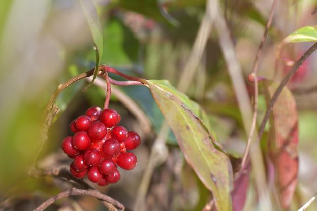 Photos: 赤い実に暖かな新春を願って~^