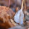 冬の花・シモバシラ