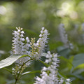 Photos: シモバシラの花