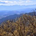 Photos: 秩父盆地を見下ろすロウバイ