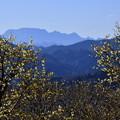Photos: 両神山とロウバイ