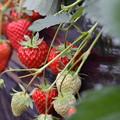 Photos: 江間のイチゴは章姫