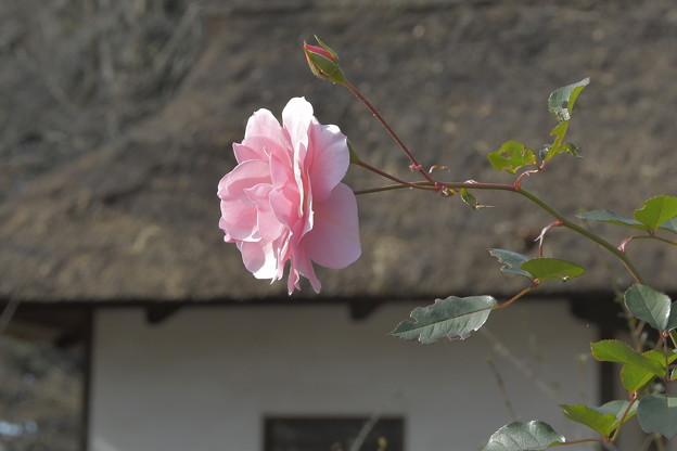 Photos: 冬のバラ