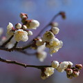 Photos: 白い梅