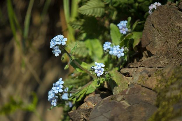 Photos: 崖に咲く瑠璃色