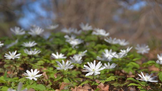 Photos: 白い花は満開に~~