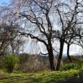 Photos: お山の中腹の枝垂れ桜
