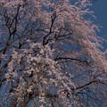Photos: 夫婦桜