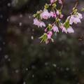 Photos: 雪~さくら~