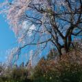Photos: 天空の夫婦桜