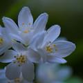 Photos: 庭の白い花