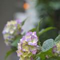 Photos: アジサイが咲きました~~