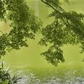 Photos: 緑の池とモミジ