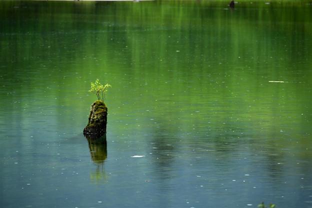 小雨降る池
