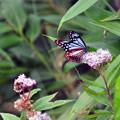 Photos: 旅する蝶