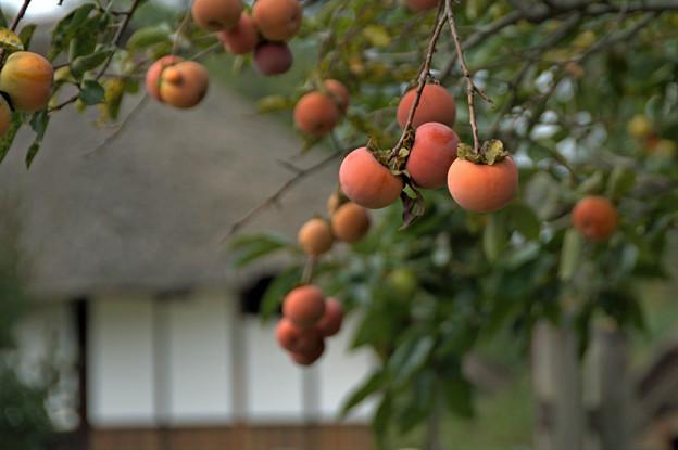 ま~るい柿
