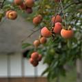 Photos: ま~るい柿