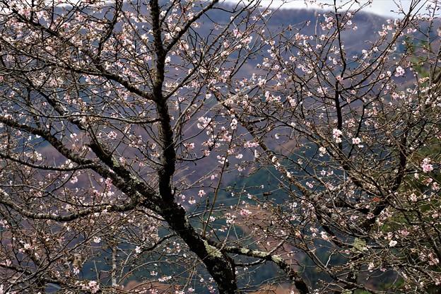Photos: 冬の桜