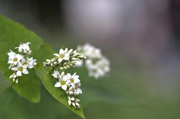 Photos: そばの花