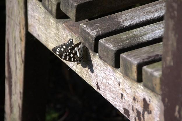 蝶さんとその影