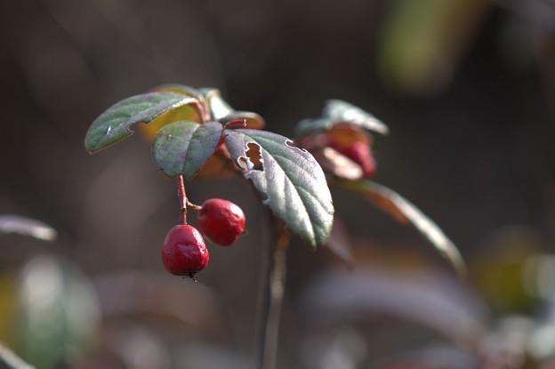 赤い実の冬