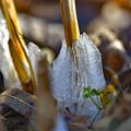 Photos: シモバシラ・冬の姿