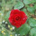 写真: 梅雨の薔薇