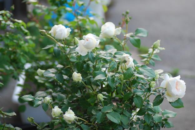 薔薇ボレロ