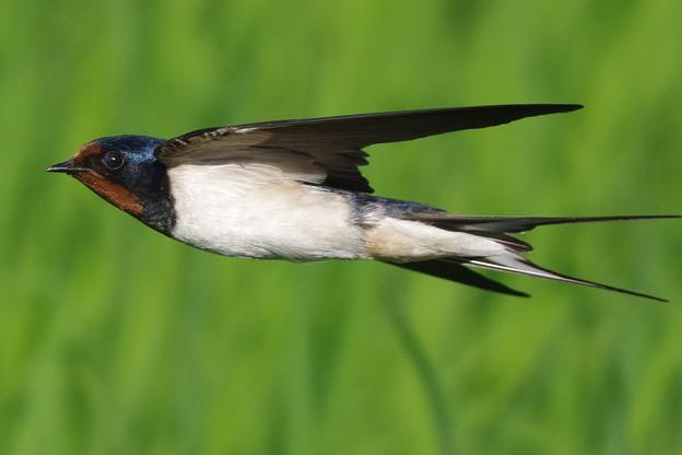 ツバメ飛翔シーン020