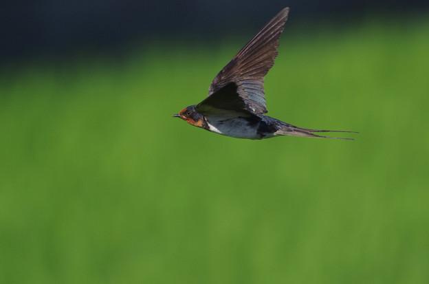 ツバメ飛翔シーン011