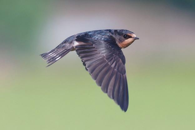 ツバメ飛翔シーン025