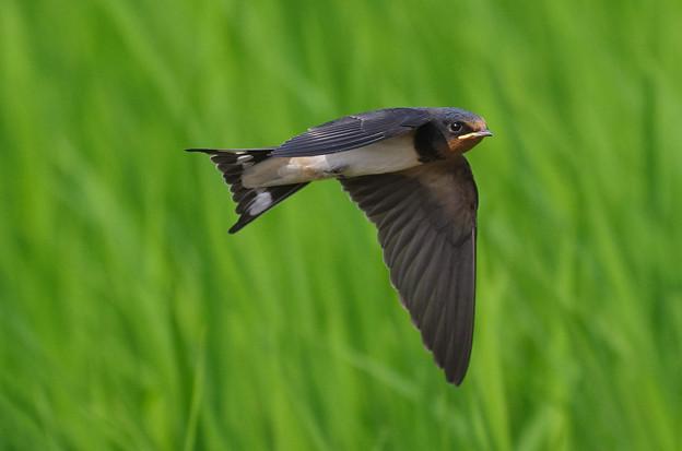 ツバメ飛翔シーン033