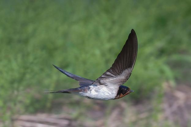 ツバメ飛翔シーン035