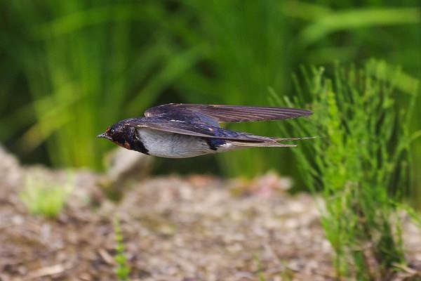 ツバメ飛翔シーン051-600