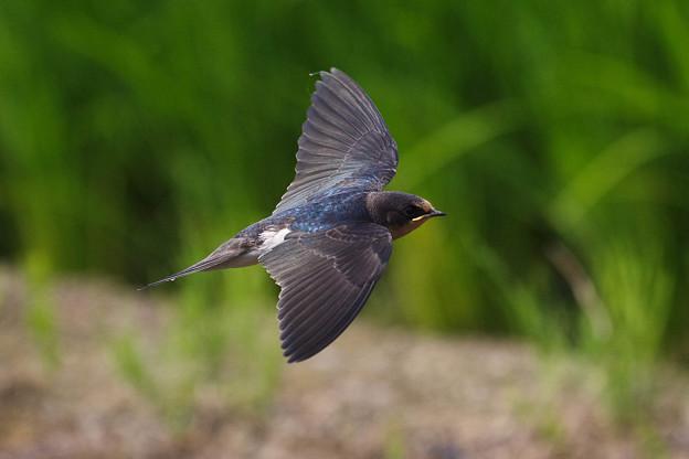 ツバメ飛翔シーン052