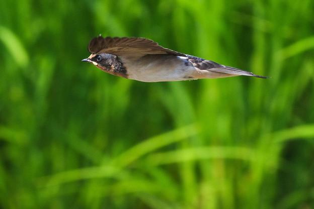 ツバメ飛翔シーン053